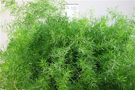 <h4>Asparagus Sprengeri 55</h4>