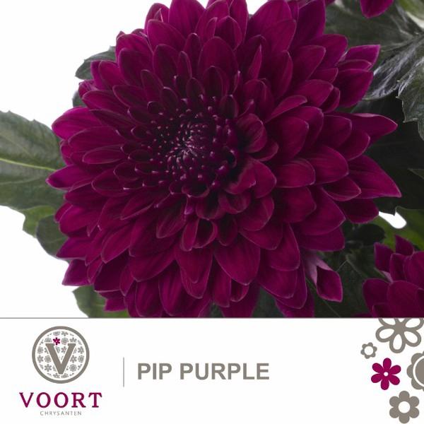 <h4>Chrys. pluis Pip Purple</h4>
