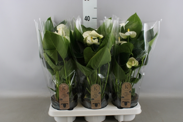 <h4>Anthurium andr. 'Sierra White'</h4>