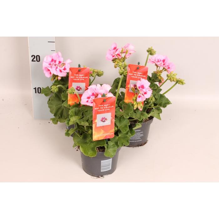 <h4>Pelargonium Calliope M Pink Splash</h4>