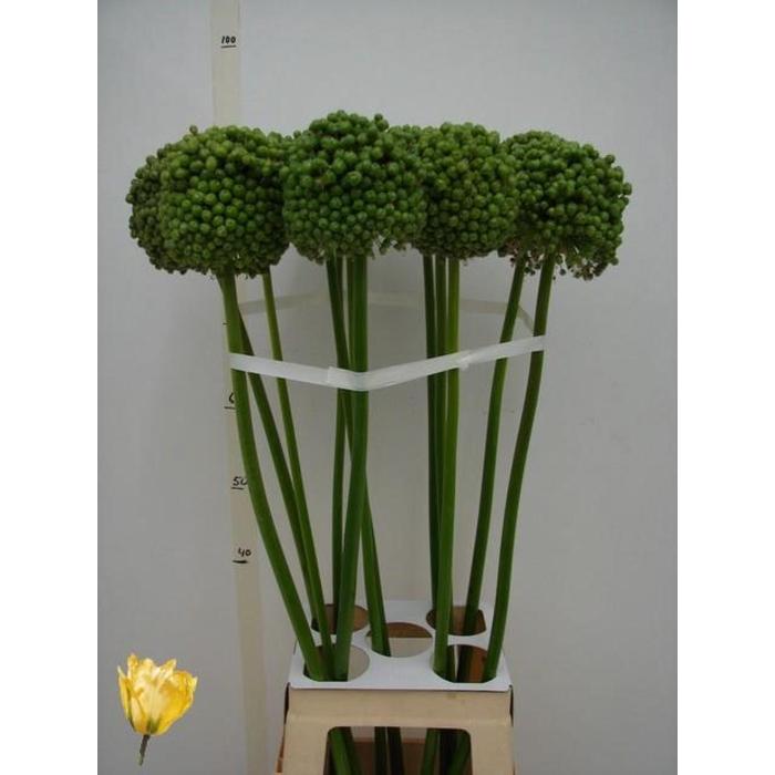 <h4>Allium Ba Green Craz</h4>