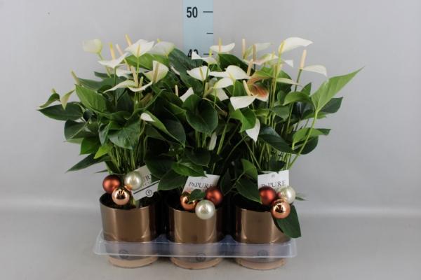 <h4>Anthurium  'Baby White'</h4>