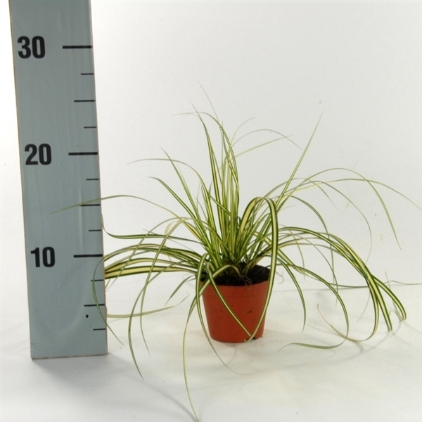 <h4>Carex oshimensis 'Evergold' p8</h4>