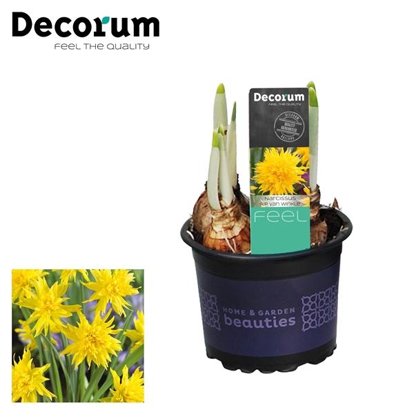 <h4>Narcissus Rip van Winkle</h4>