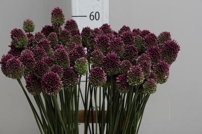 <h4>Allium Sphaerocephalon</h4>