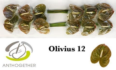 <h4>ANTH A OLIVIUS</h4>