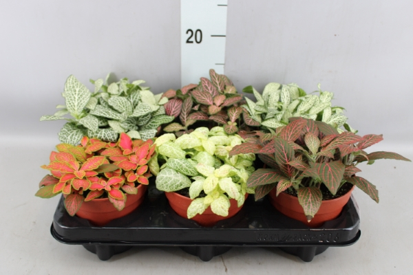 <h4>Fittonia   ...mix</h4>