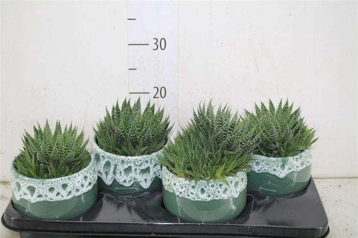 <h4>Aloe Aristata In Lotte Keramiek</h4>