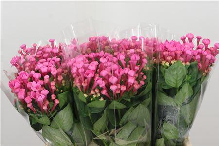 <h4>Bou En Royal Roza Hot Pink</h4>