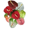 Anthurium Mix Small, p/color