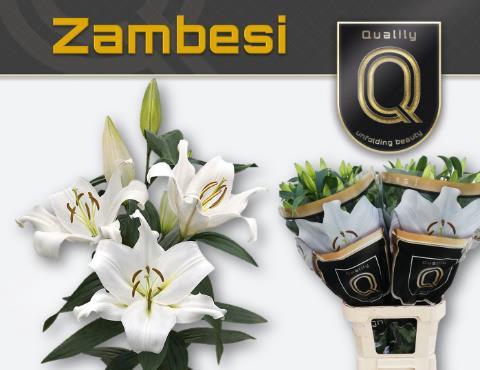 <h4>LI OT ZAMBESI</h4>