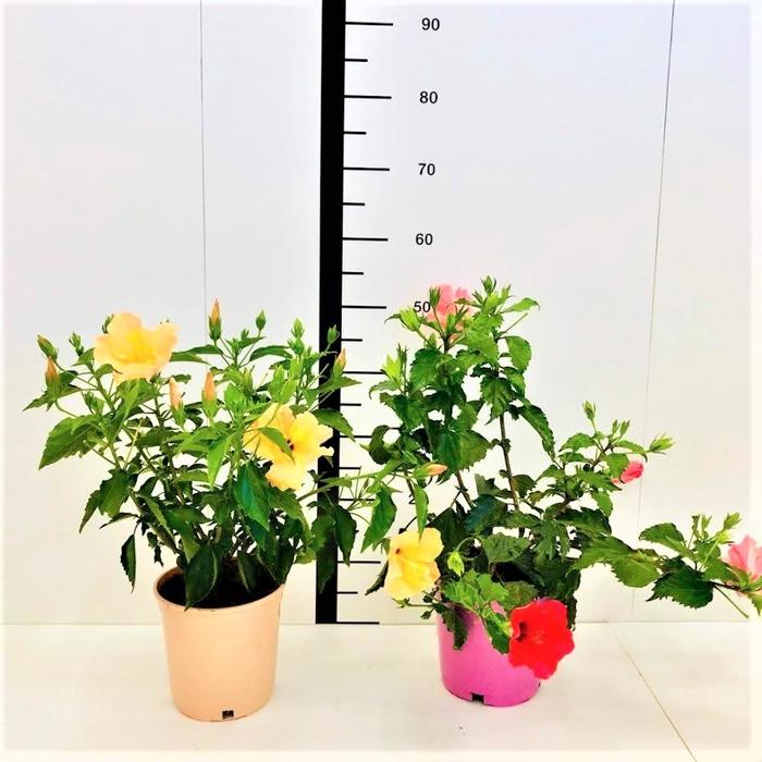 <h4>Hibiscus rosa-sinensis mix</h4>