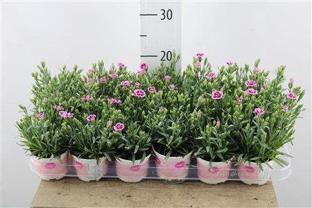 <h4>Dianthus Pink Kisses</h4>