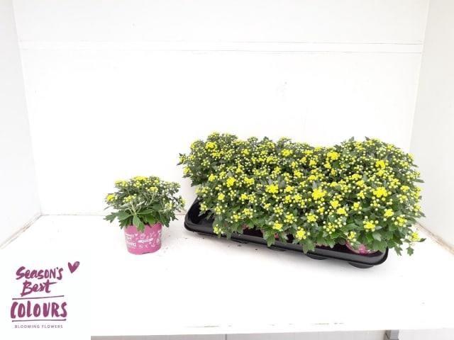 <h4>Ajania paci. Pacific Yellow</h4>