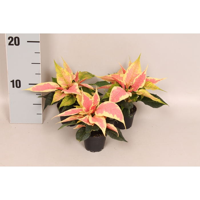 <h4>Poinsettia 6  cm Christmas Feelings Marbella 2/4 kopper</h4>