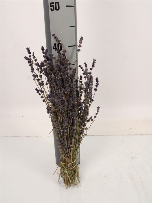 <h4>Dried Flowers Lavandula Angust Bos Light Blue</h4>