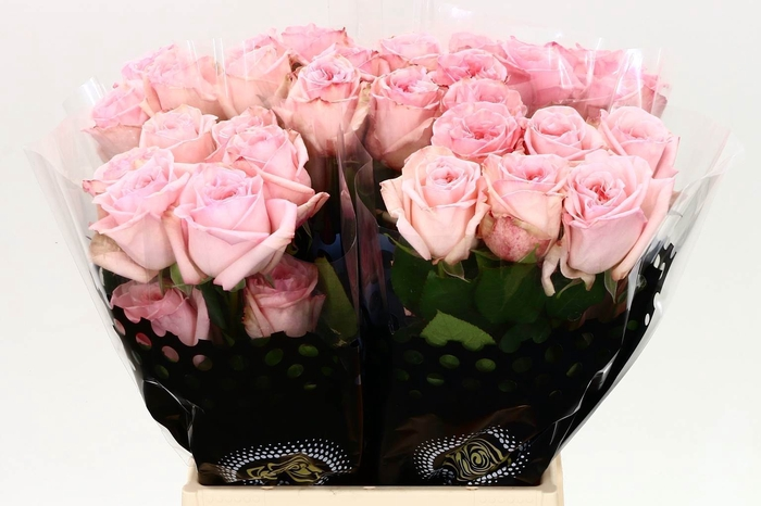 <h4>R Eq Gar Pink Ohara</h4>