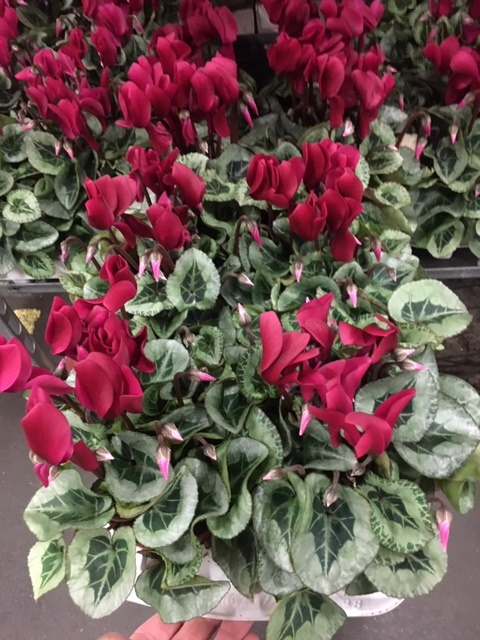 <h4>Cyclamen Picasso wine red</h4>