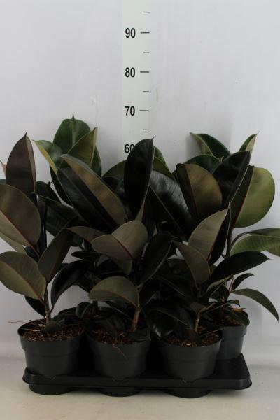 <h4>Ficus elastica   ...mix 2</h4>