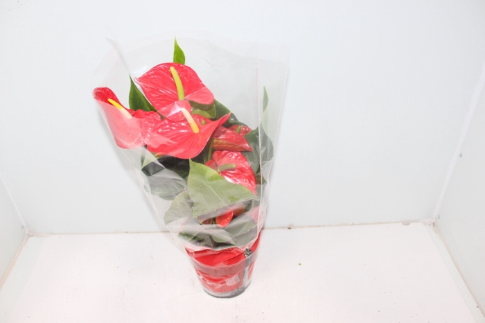 <h4>ANTHURIUM MICHIGAN P17</h4>