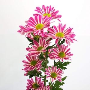 Chrysanthemum spray jordi pink