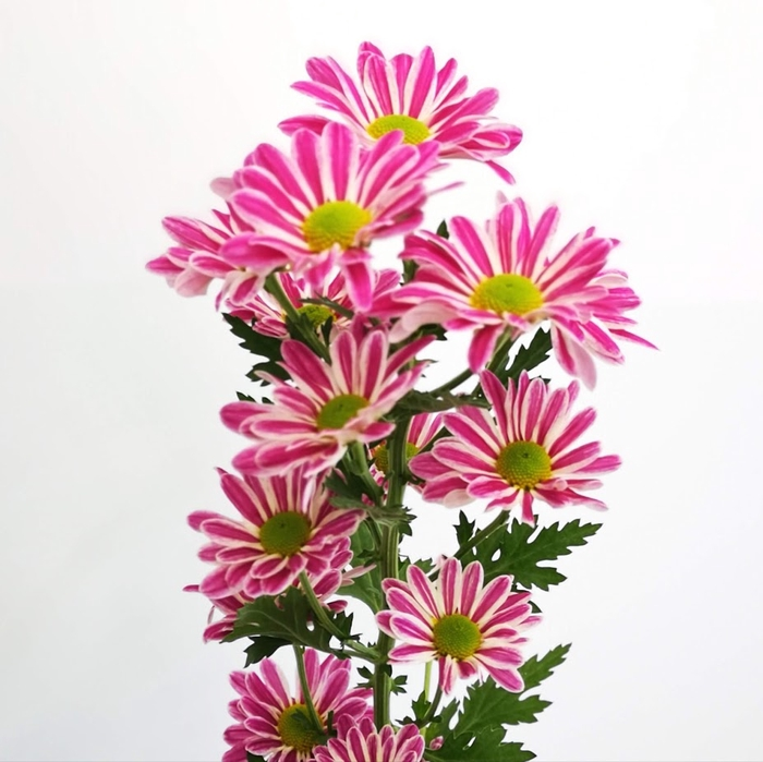 <h4>Chrysanthemum spray jordi pink</h4>