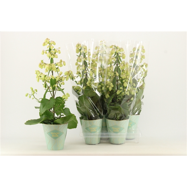 <h4>Kalanchoe Magic Bell</h4>
