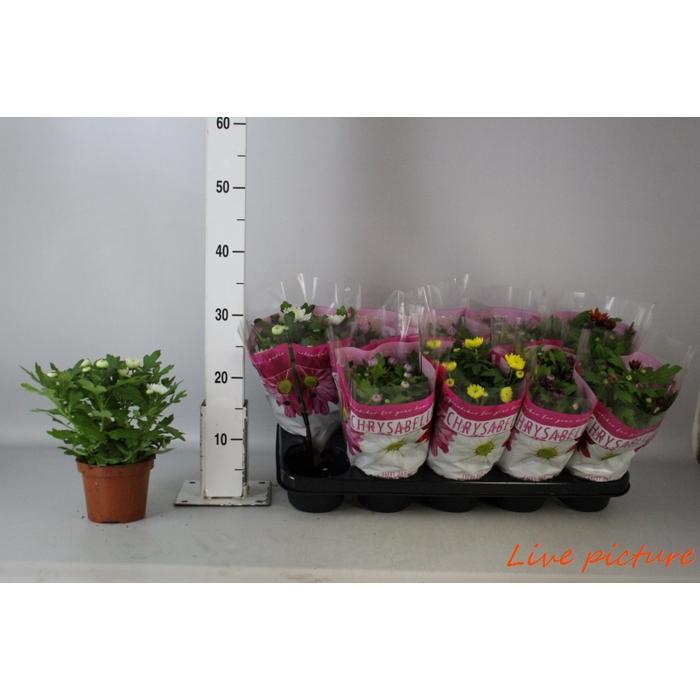 <h4>Chrysanthemum Ind. Mix</h4>