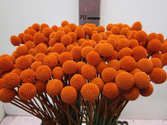 <h4>Craspedia Oranje</h4>