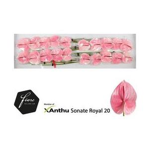 Anthurium Sonate Royal
