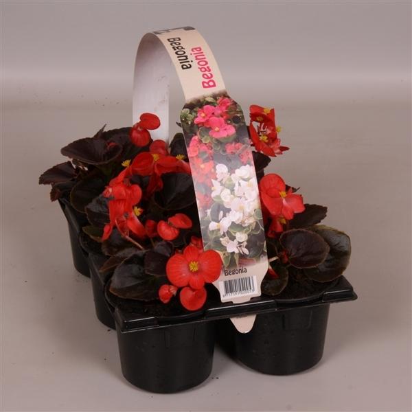<h4>Begonia Semperflorens donkerbladig rood 6p</h4>