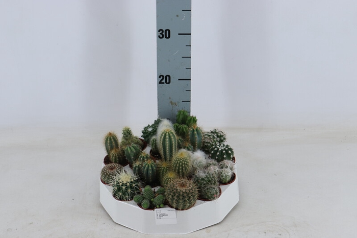 <h4>Cactus Rondell</h4>