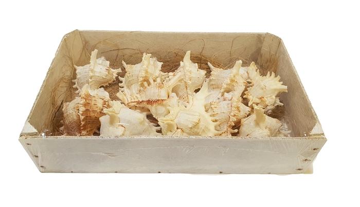 <h4>Shell Ramusus Big in box</h4>