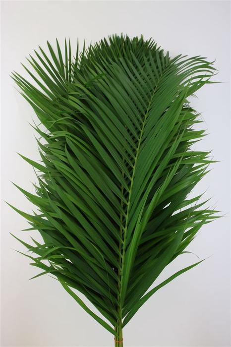<h4>Cane Palm 120cm</h4>