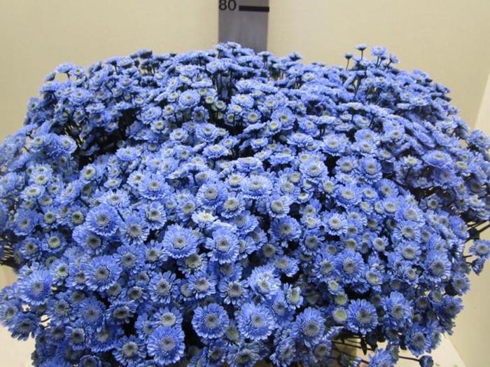 <h4>Chr T Stallion Blauw</h4>