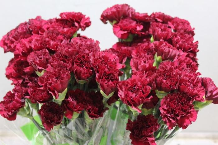 <h4>Dianthus Zurigo</h4>