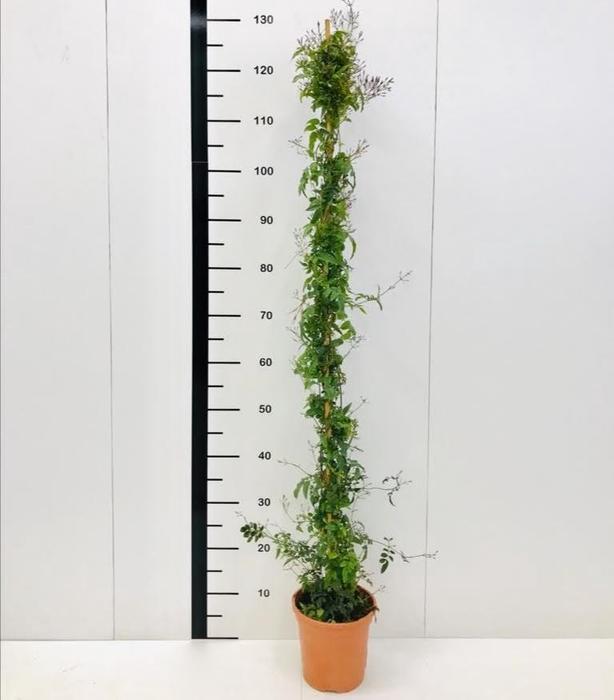 <h4>Jazmin polyanthus</h4>