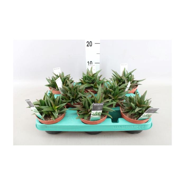 <h4>Aloe alworthia 'Black Gem'</h4>
