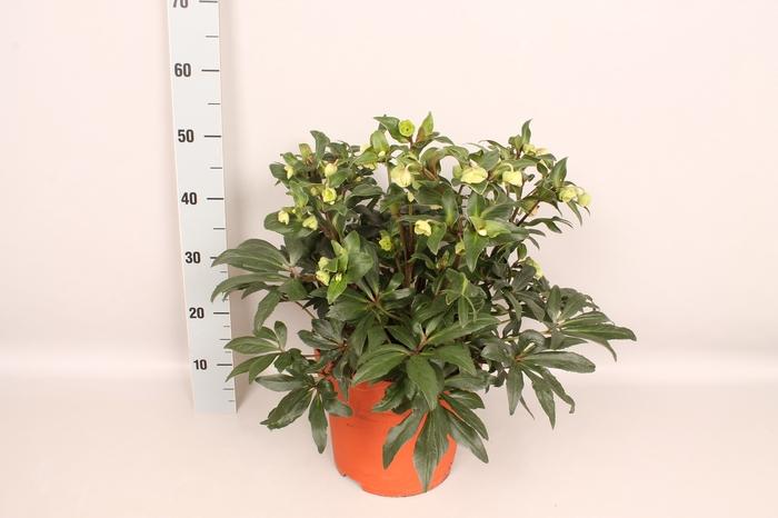 <h4>Helleborus Winterbells 27 cm</h4>