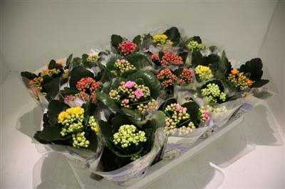 <h4>17 GEM MINI KALANCHOE</h4>