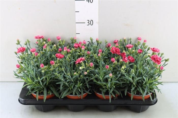 <h4>Dianthus Caryophyllus cerise</h4>