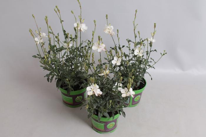 <h4>Gaura Lindheimeri Buterfly White</h4>