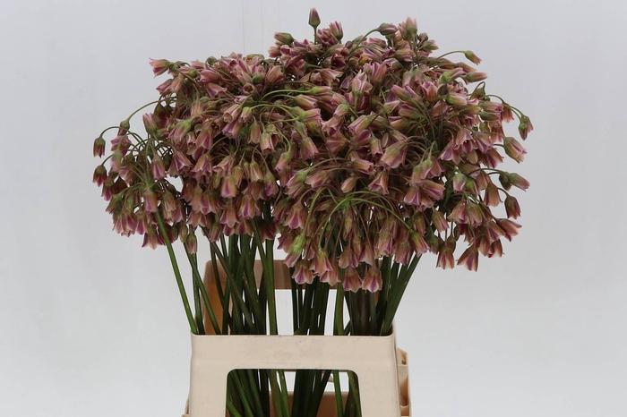 <h4>Allium Siculum</h4>