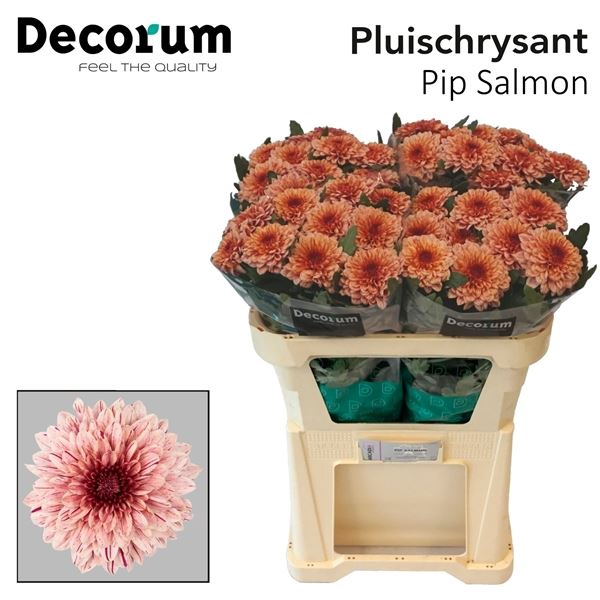 <h4>Chrysanthemum PL 'Pip Salmon'</h4>