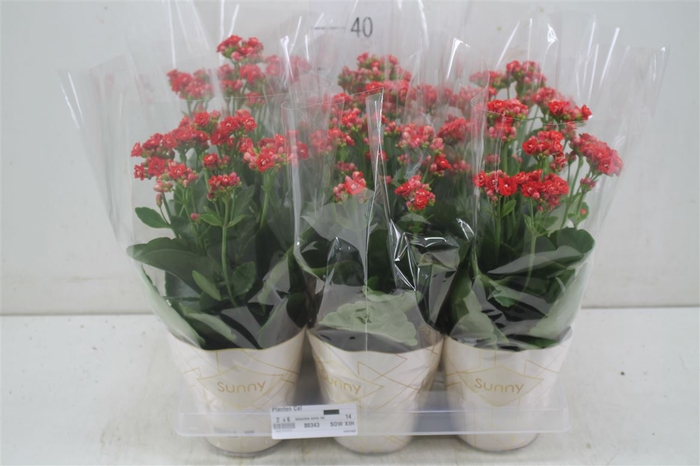 <h4>Kalanchoe Sunny Red</h4>