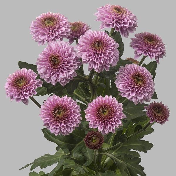 <h4>Chrys. santini Doria Pink</h4>