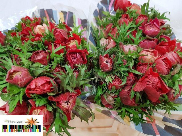<h4>ANEM CO FSTAR GL RED</h4>