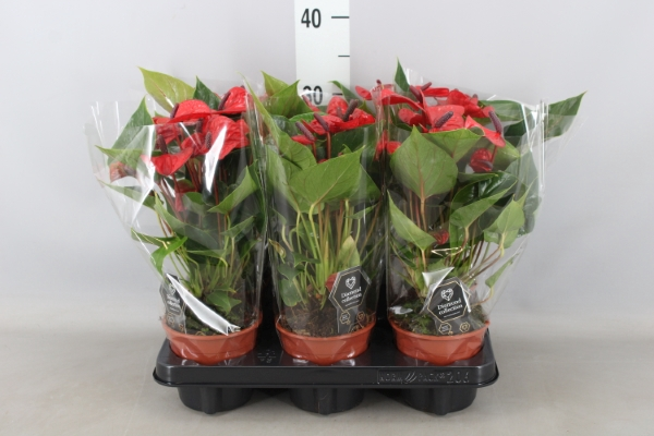 <h4>Anthurium andr. 'Lipstick Red'</h4>