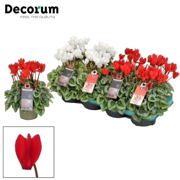 <h4>Cyclamen SS Picasso Xmas Mix Decorum</h4>