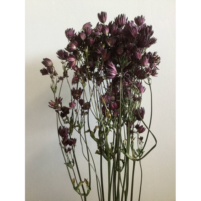 <h4>DRIED FLOWERS - ASTRANTIA RED 10PCS</h4>